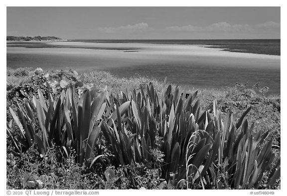 Plants and colorful Atlantic waters, Bahia Honda State Park. The Keys, Florida, USA (black and white)