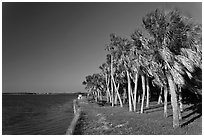 Dense grove of Palm trees, Fort De Soto Park. Florida, USA (black and white)