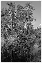 Cypress reflected in channel along Tamiami Trail, Big Cypress National Preserve. Florida, USA ( black and white)