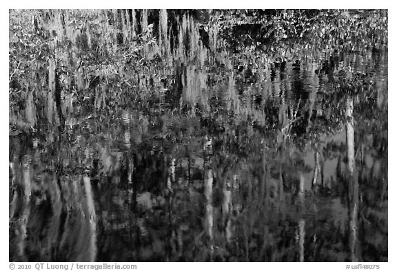 Bald Cypress and Spanish moss reflections, Big Cypress National Preserve. Florida, USA (black and white)