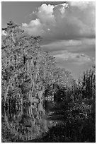Bald Cypress and afternoon clouds, Big Cypress National Preserve. Florida, USA (black and white)