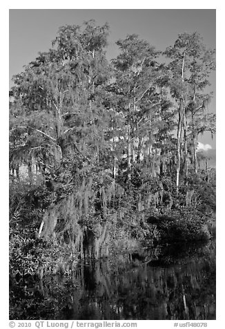 Bald Cypress with Spanish Moss near Tamiami Trail, Big Cypress National Preserve. Florida, USA (black and white)