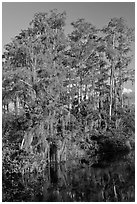 Bald Cypress with Spanish Moss near Tamiami Trail, Big Cypress National Preserve. Florida, USA ( black and white)