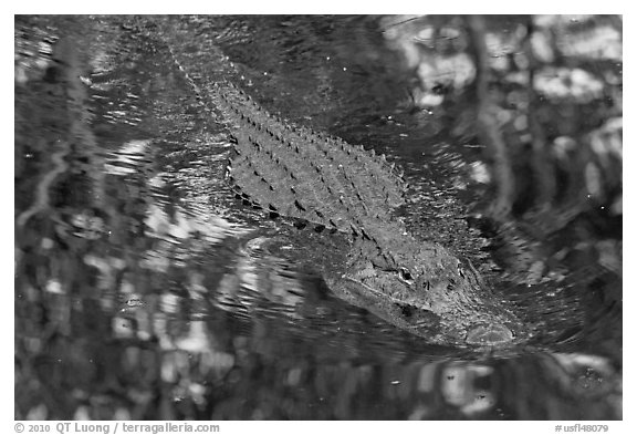 Alligator swimming in pond, Big Cypress National Preserve. Florida, USA (black and white)