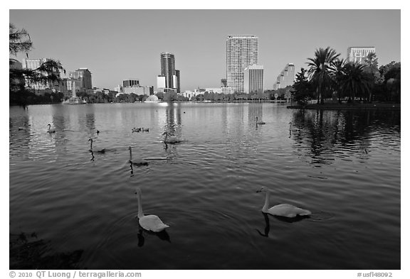 Swans and skyline, lake Eola. Orlando, Florida, USA