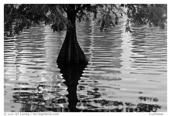 Cypress, reflections, and ripples, Lake Eola. Orlando, Florida, USA