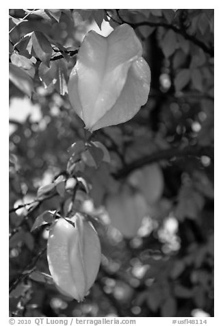 Starfruits on Averrhoa carambola tree. Orlando, Florida, USA (black and white)