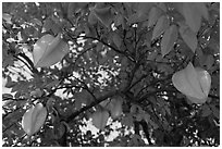 Carambola Fruit. Orlando, Florida, USA (black and white)