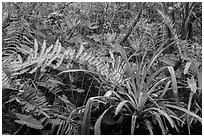 Subtropical swamp vegetation, Tamiami Trail. Florida, USA (black and white)