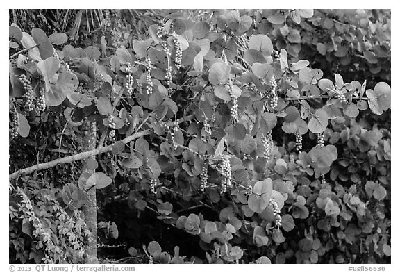 Seagrape (Coccoloba uvifera), Sanibel Island. Florida, USA (black and white)