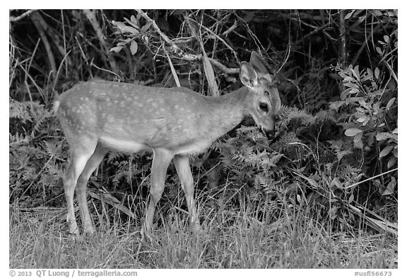 Key deer grazing at forest edge, Big Pine Key. The Keys, Florida, USA (black and white)