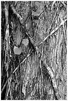 Strangler fig on tree trunk. Corkscrew Swamp, Florida, USA (black and white)