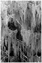 Spanish moss, Okefenokee Swamp. Georgia, USA (black and white)