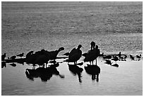 Pelicans and smaller wading birds at sunset, Ding Darling NWR. Sanibel Island, Florida, USA (black and white)