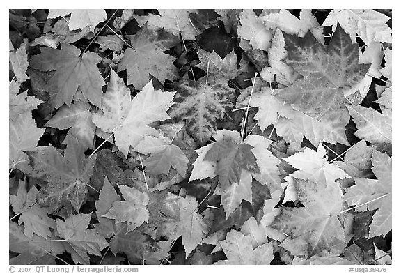 Black and white picture photo fallen maple leaves georgia usa