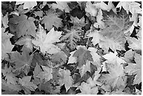 Fallen maple leaves. Georgia, USA (black and white)