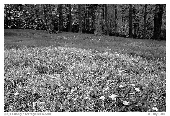 Spring wildflowers, grasses, and trees, Bernheim arboretum. Kentucky, USA (black and white)
