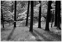 White and pink trees in bloom, Bernheim arboretum. Kentucky, USA ( black and white)