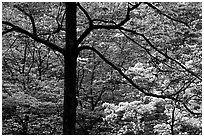 Pink and white trees  in bloom, Bernheim arboretum. Kentucky, USA ( black and white)