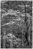 Redbud and Dogwood, Bernheim forest. Kentucky, USA (black and white)
