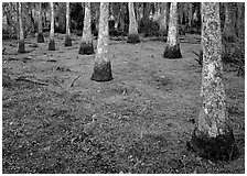 Cypress growing in vegetation-covered swamp, Jean Lafitte Historical Park and Preserve, New Orleans. New Orleans, Louisiana, USA ( black and white)