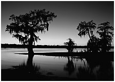 Bald Cypress at sunset on Lake Martin. Louisiana, USA ( black and white)