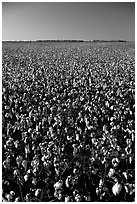 Cotton plants in field. Louisiana, USA (black and white)