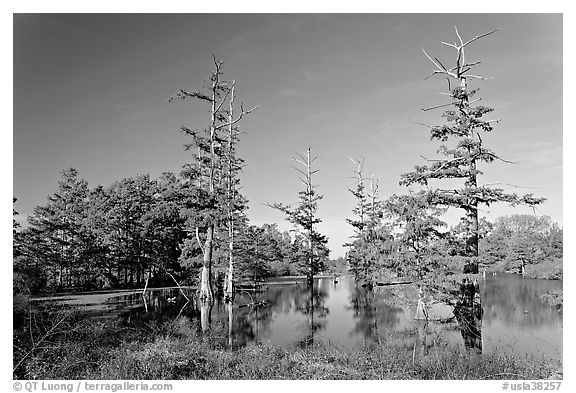 Pond and bald cypress in fall color. Louisiana, USA (black and white)