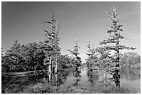 Pond and bald cypress in fall color. Louisiana, USA ( black and white)