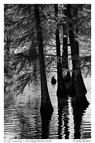 Pond and backlit cypress leaves in autumn color. Louisiana, USA (black and white)