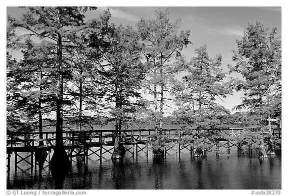 Boardwalk and bald cypress on Lake Providence. Louisiana, USA (black and white)