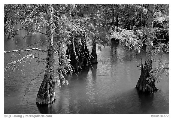 Cypress in fall colors, Lake Providence. Louisiana, USA (black and white)