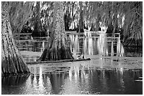 Bald Cypress and reflections, Lake Martin. Louisiana, USA ( black and white)