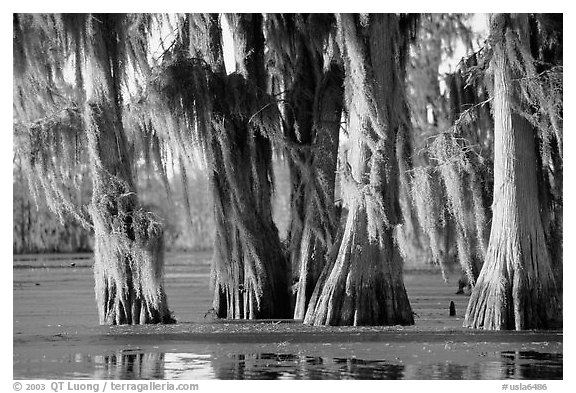 Trees covered by Spanish Moss at sunset, Lake Martin. Louisiana, USA (black and white)