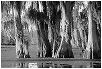 Trees covered by Spanish Moss at sunset, Lake Martin. Louisiana, USA ( black and white)