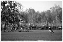 Bird in the swamp, Lake Martin. Louisiana, USA ( black and white)