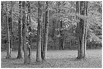 Trees in fall. Natchez Trace Parkway, Mississippi, USA (black and white)
