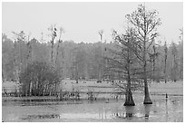 Swamp with bald cypress at dawn. South Carolina, USA (black and white)