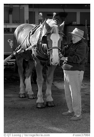 Woman grooming carriage horse. Beaufort, South Carolina, USA (black and white)