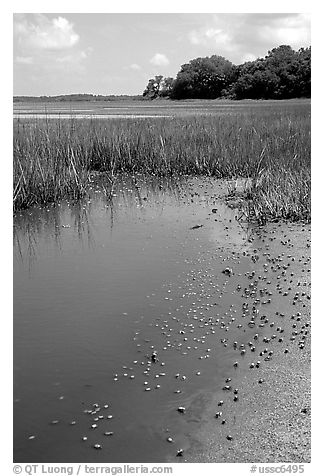 Crabs in a pond, grasses, Hilton Head. South Carolina, USA (black and white)