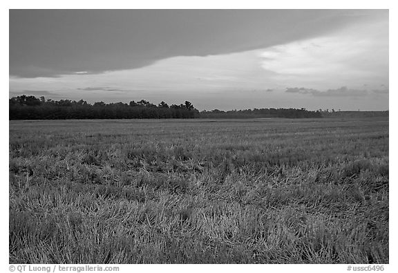 Grasses at sunset, Hilton Head. South Carolina, USA (black and white)
