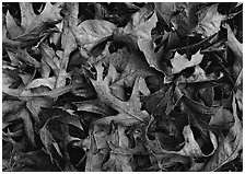 Fallen leaves close-up. Tennessee, USA (black and white)