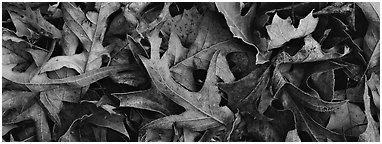 Close-up of falling leaves with frost. Tennessee, USA (Panoramic black and white)
