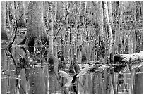 Cypress in Reelfoot National Wildlife Refuge. Tennessee, USA ( black and white)