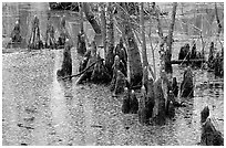 Cypress Knees in Reelfoot National Wildlife Refuge. Tennessee, USA (black and white)