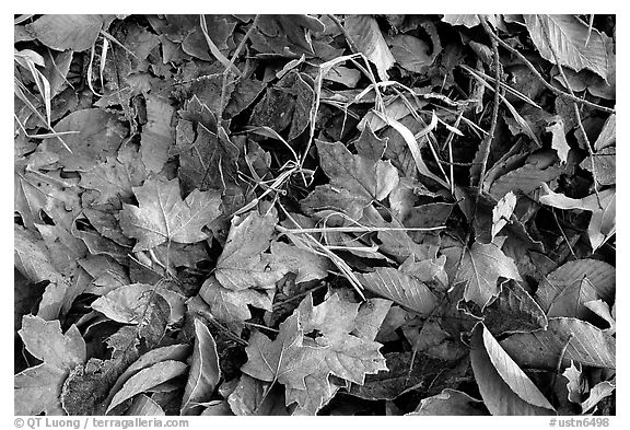 Fallen leaves with morning frost. Tennessee, USA (black and white)