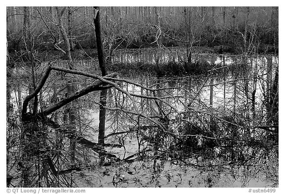 Swamp reflections. Tennessee, USA (black and white)