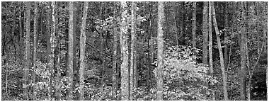 Fall forest scenery. Virginia, USA (Panoramic black and white)