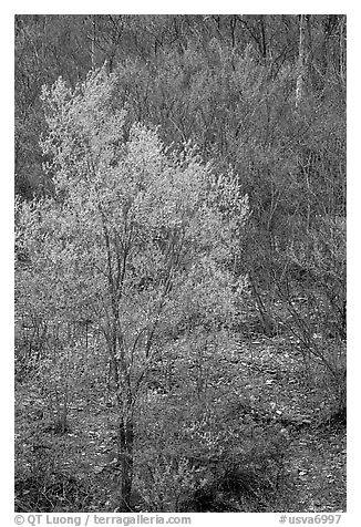 Redbud tree in bloom and tree leafing out. Virginia, USA (black and white)