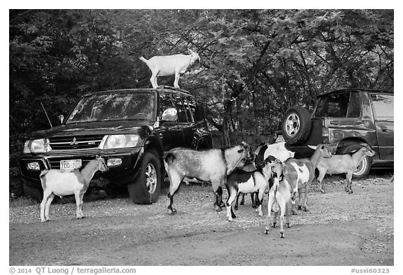 Goats. Saint John, US Virgin Islands (black and white)
